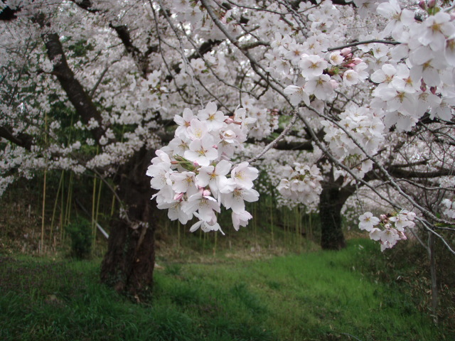 2012/4/23 お花見 桜 1095