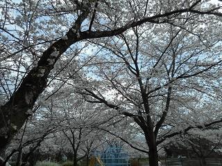 平成30年4月お花見⑤